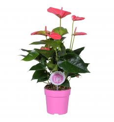ANTŪRIJAS (ANTHURIUM) MIX 12Ø 30H