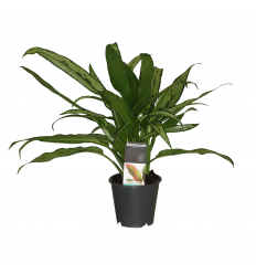 AGLAONEMA CUTLASS 12Ø35H