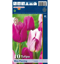 TULPES TRIUMPH - BLUE FLAMING