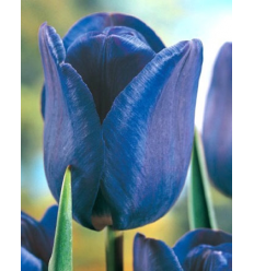 TULPES BLUE AIMABLE