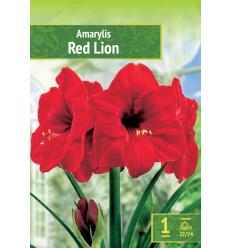 HIPEASTRI AMARYLLIS RED LION