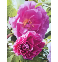ROZE THERESE BUGNET