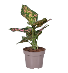 AGLAONEMA SPOTTED STAR 12Ø35H