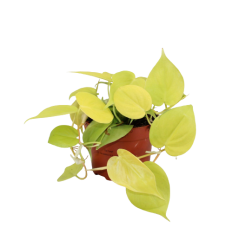 FILODENDRS (PHILODENDRON) LIME 12Ø