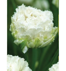 TULPES SNOW CRYSTAL