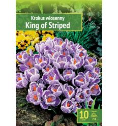 KROKUSI KING OF THE STRIPED