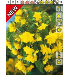 BEGONIJAS YELLOW 37387