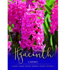 HIACINTES JAN BOS 73261