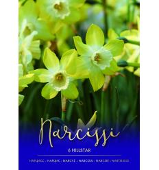 NARCISES HILLSTAR 73470