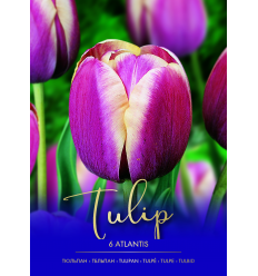 TULPES ATLANTIS 73432